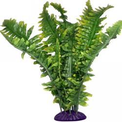 Boston fern 36cm
